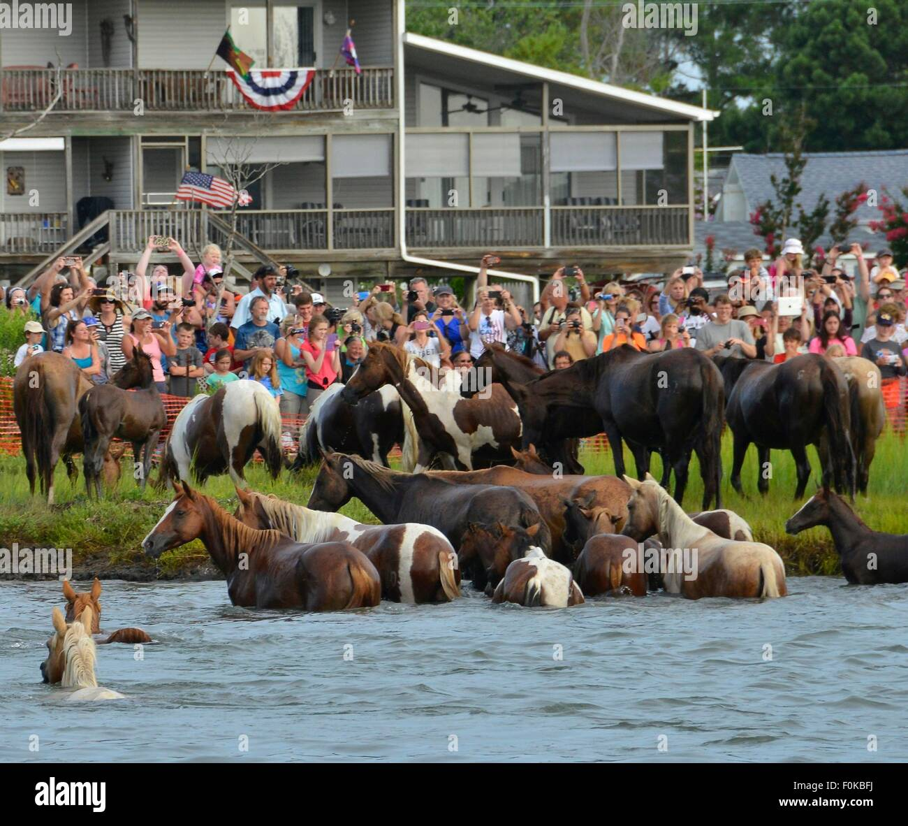 Wild ponies come ashore during the 90th annual Pony Swim from Assateague Island on Virginia's Eastern Shore July Stock Photo