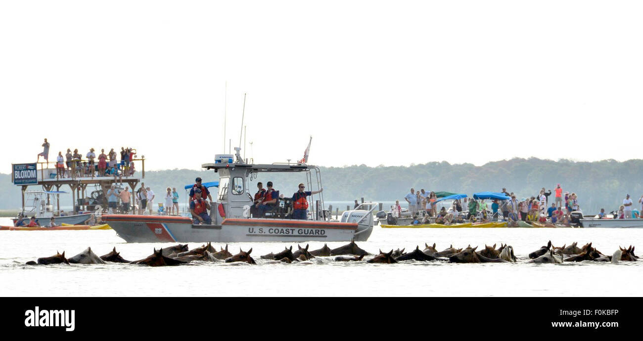 The ponies make the annual swim from Assateague Island, Va., to Chincoteague Island, Va., during the 90th Pony Swim - Stock Image