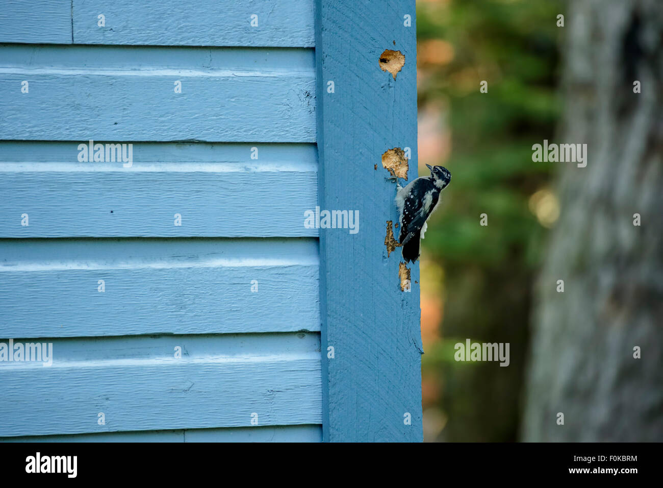 Downy  woodpecker creating hole in townhouse wood siding-Victoria, British Columbia, Canada. - Stock Image