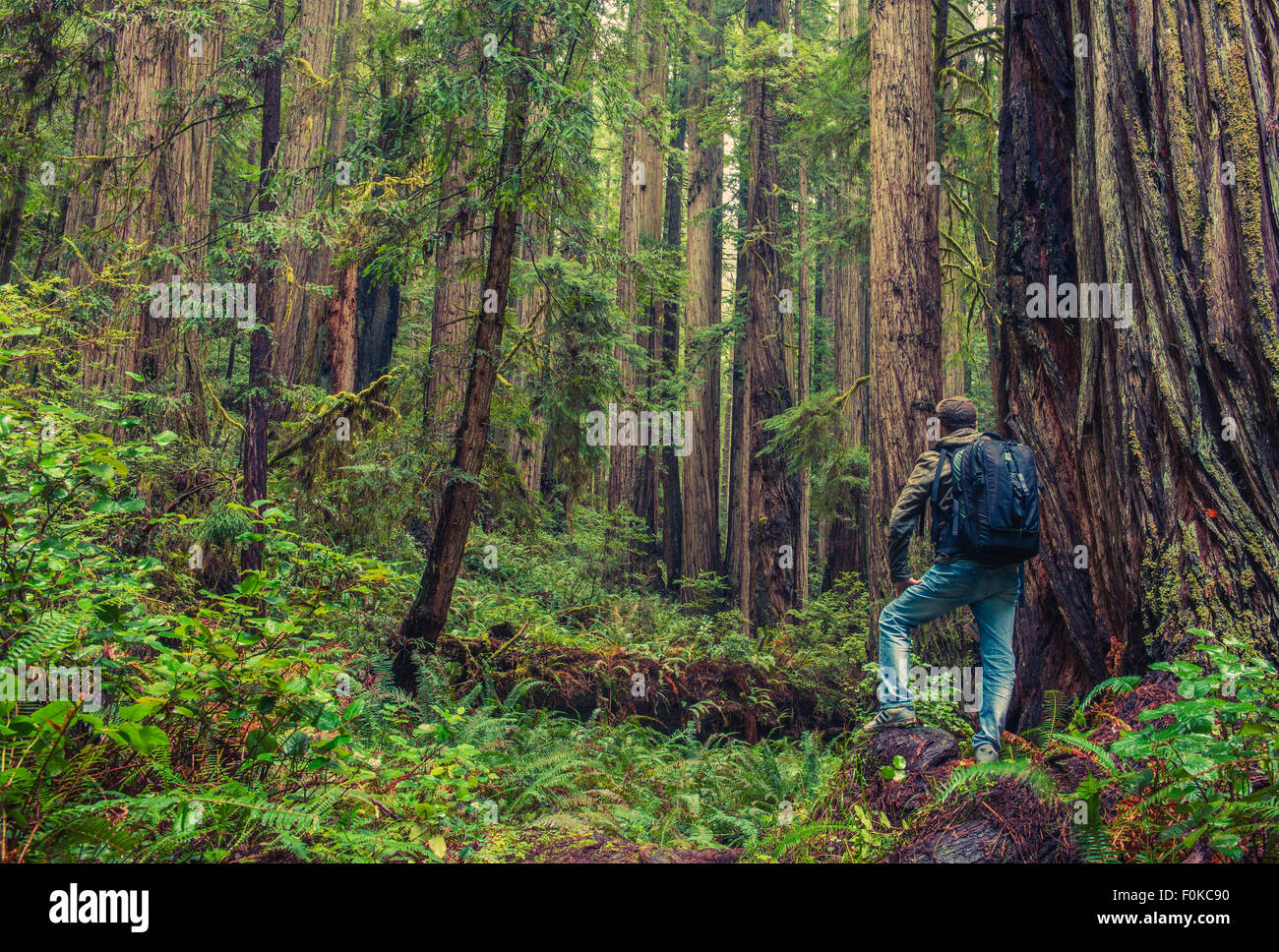 Redwood Hiking. Men with Backpack Surrounded By Redwood Forest. California, United States. - Stock Image