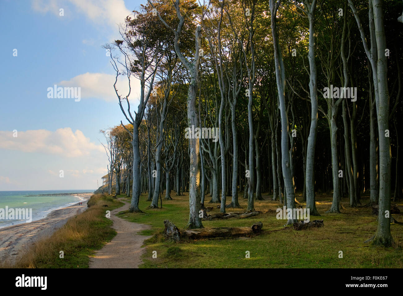 Beech forest, mind wood, ghost wood, at the baltic sea at nienhagen, Mecklenburg-Western Pomerania, germany, europe - Stock Image