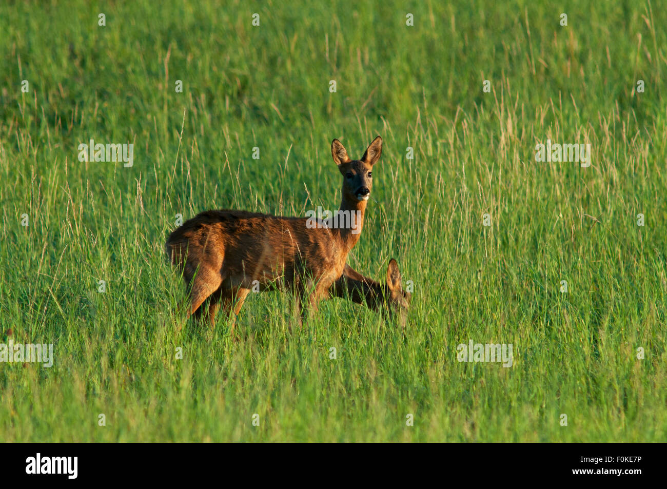Two deer(Capreolus capreolus) on meadow, one is looking directly into the camera, Eifel, Rhineland-Palatinate, Germany, - Stock Image