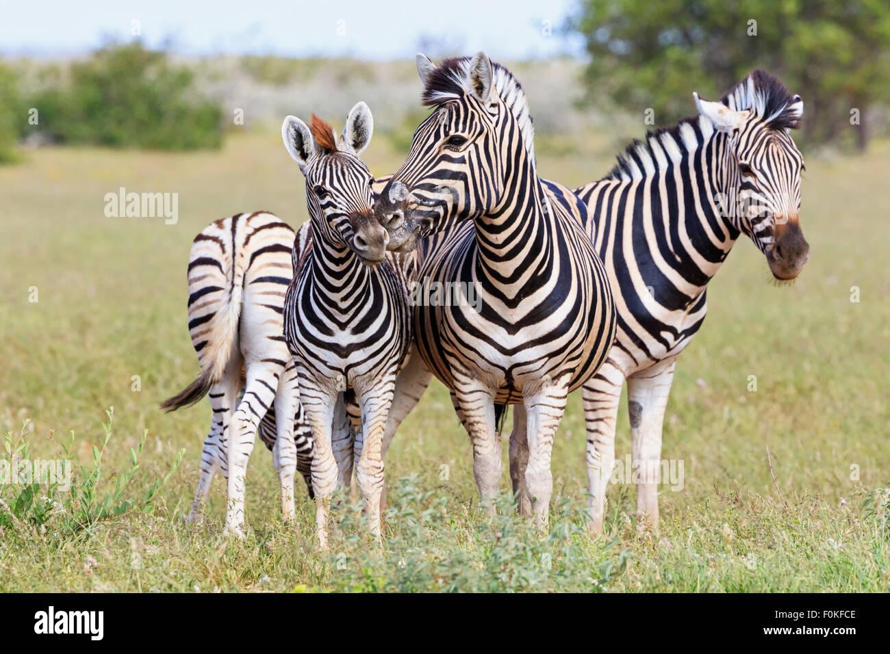 Namibia, Etosha National Park, family of plains zebras Stock Photo