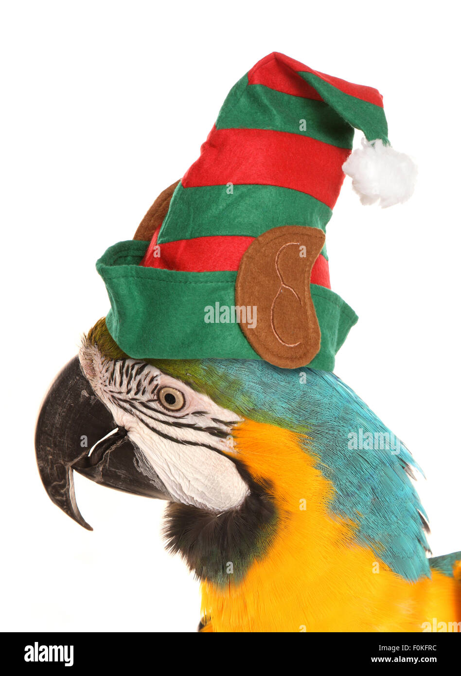 macaw parrot wearing a christmas elf hat studio cutout Stock Photo ...