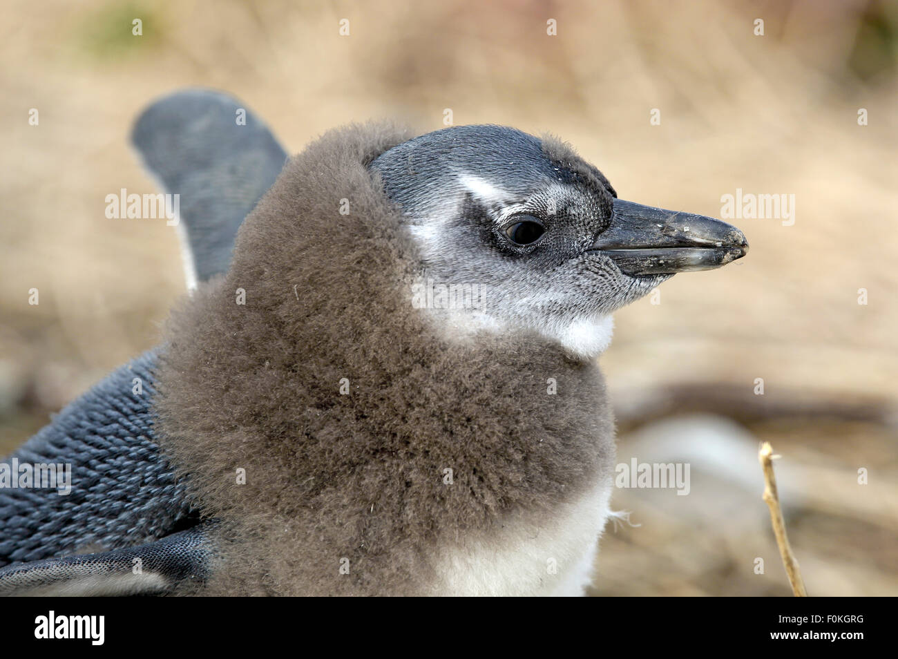 African penguin (Spheniscus demersus) chick malting - Stock Image