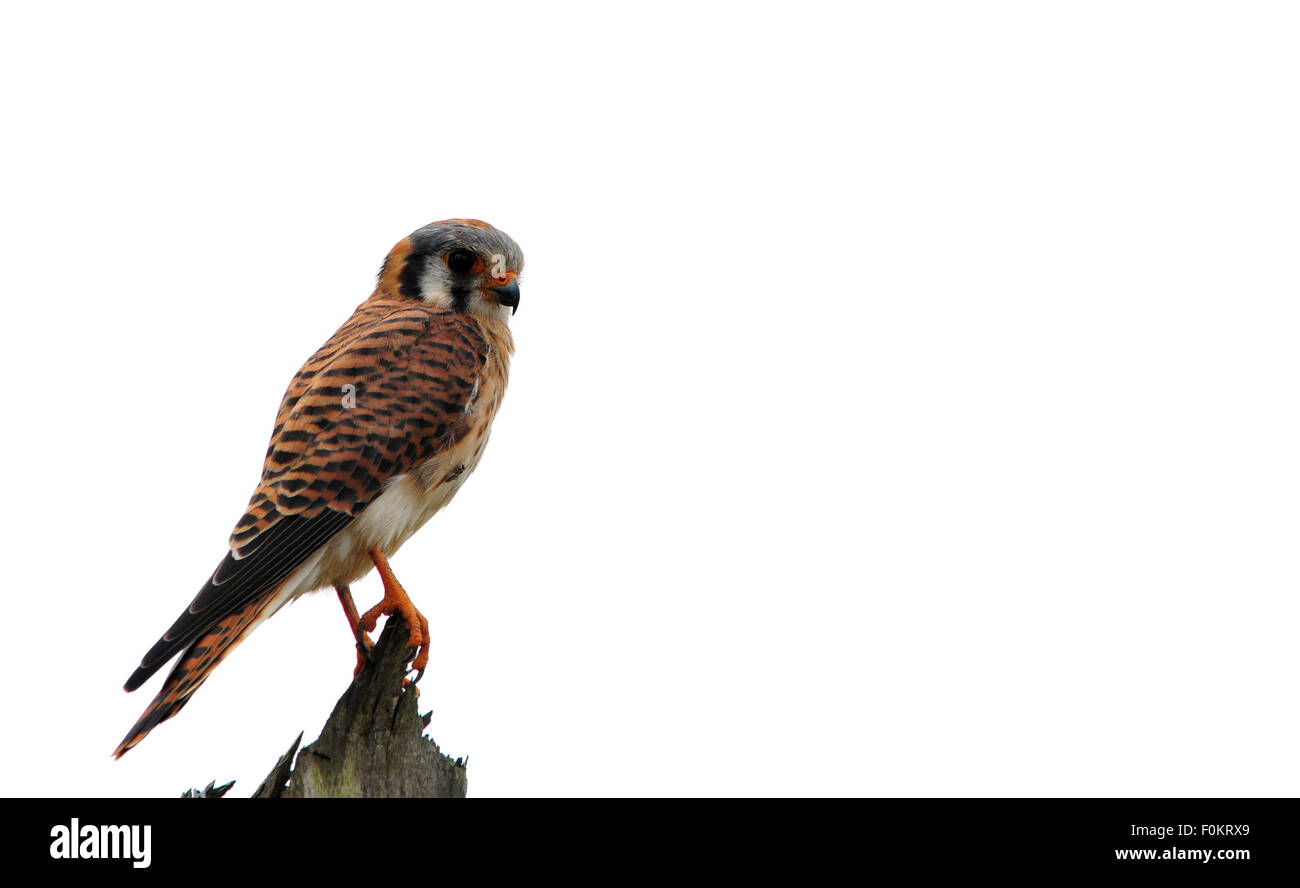 Beautiful American Kestrel (Falco sparverius)  perched on a fence post - Stock Image
