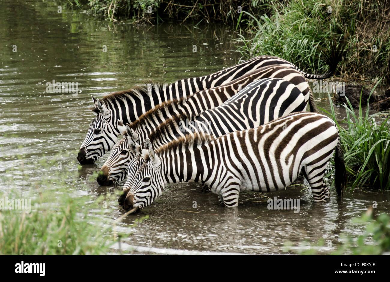 In Sync Zebras. - Stock Image