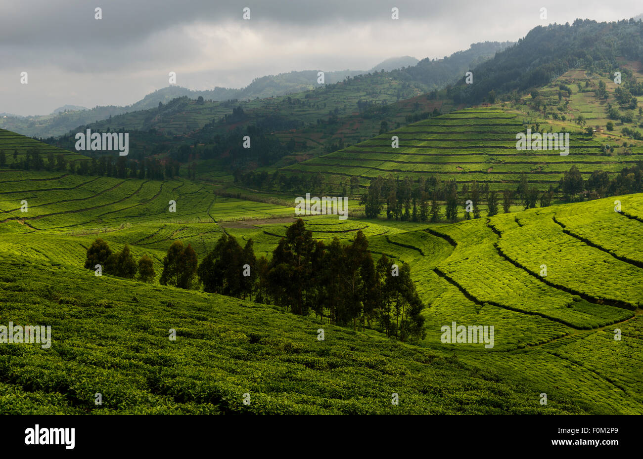 Tea plantations of western Rwanda, Africa - Stock Image