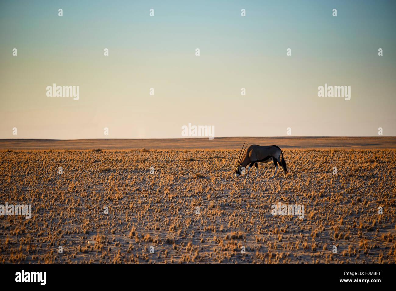 Gemsbok in the Namibian Desert, Namibia - Stock Image