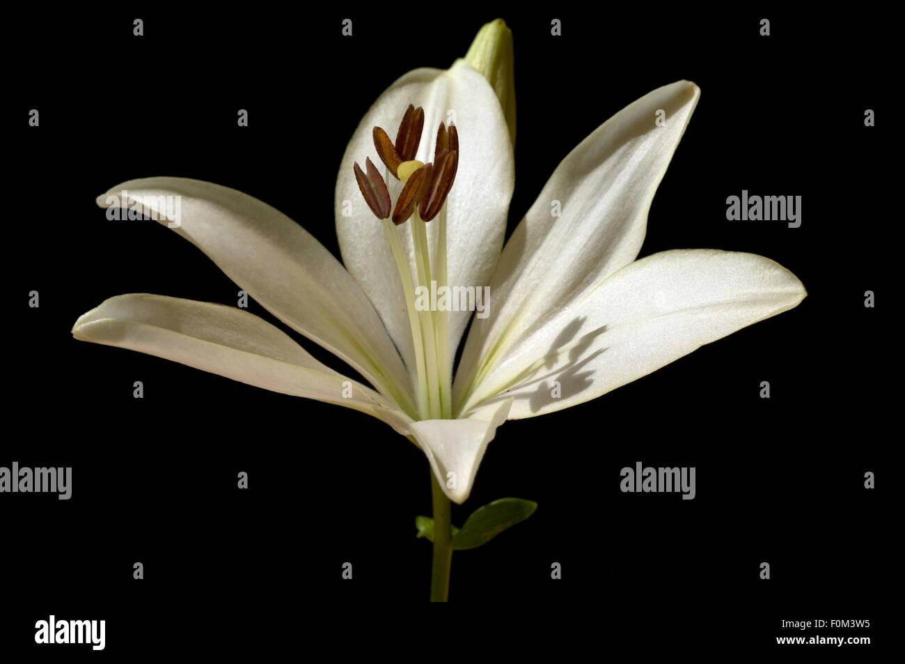 lilie; hybride; lilien - Stock Image