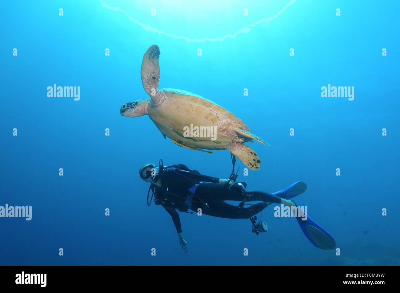 Bohol Sea, Philippines. 15th Oct, 2014. Diver looking at a green sea turtle, green turtle, black sea turtle, or Stock Photo