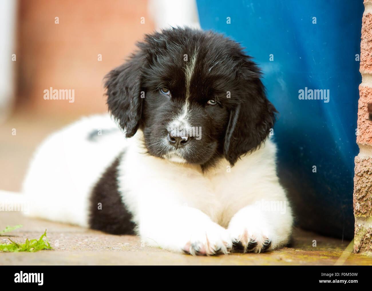 Landseer Newfoundland Puppy 8 Weeks Old Stock Photo 86494825 Alamy
