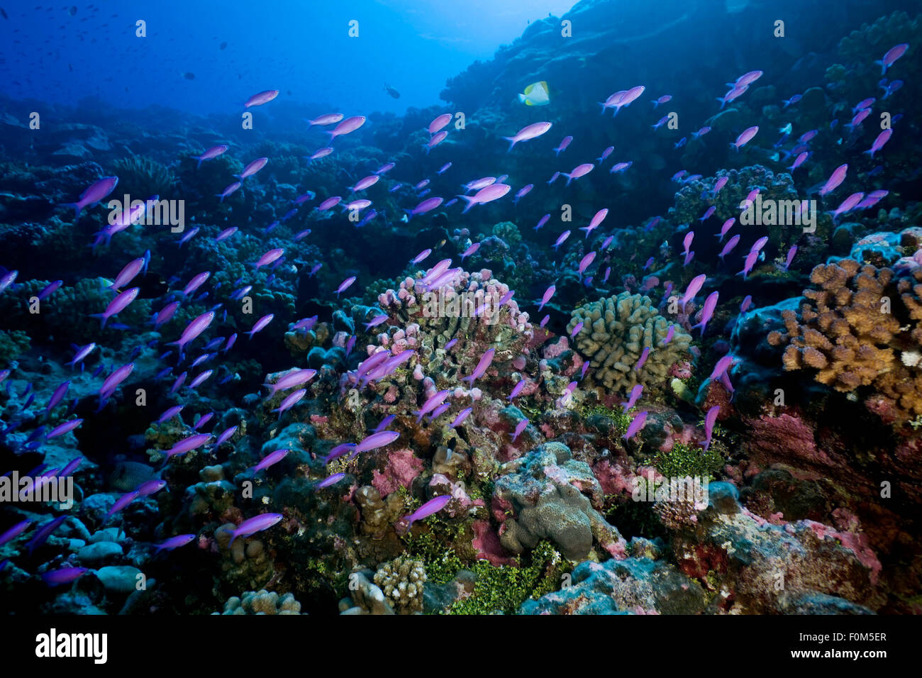 SCHOOL OF ANTHIAS FISH SWIMMING FRONT OF REEF CORAL - Stock Image