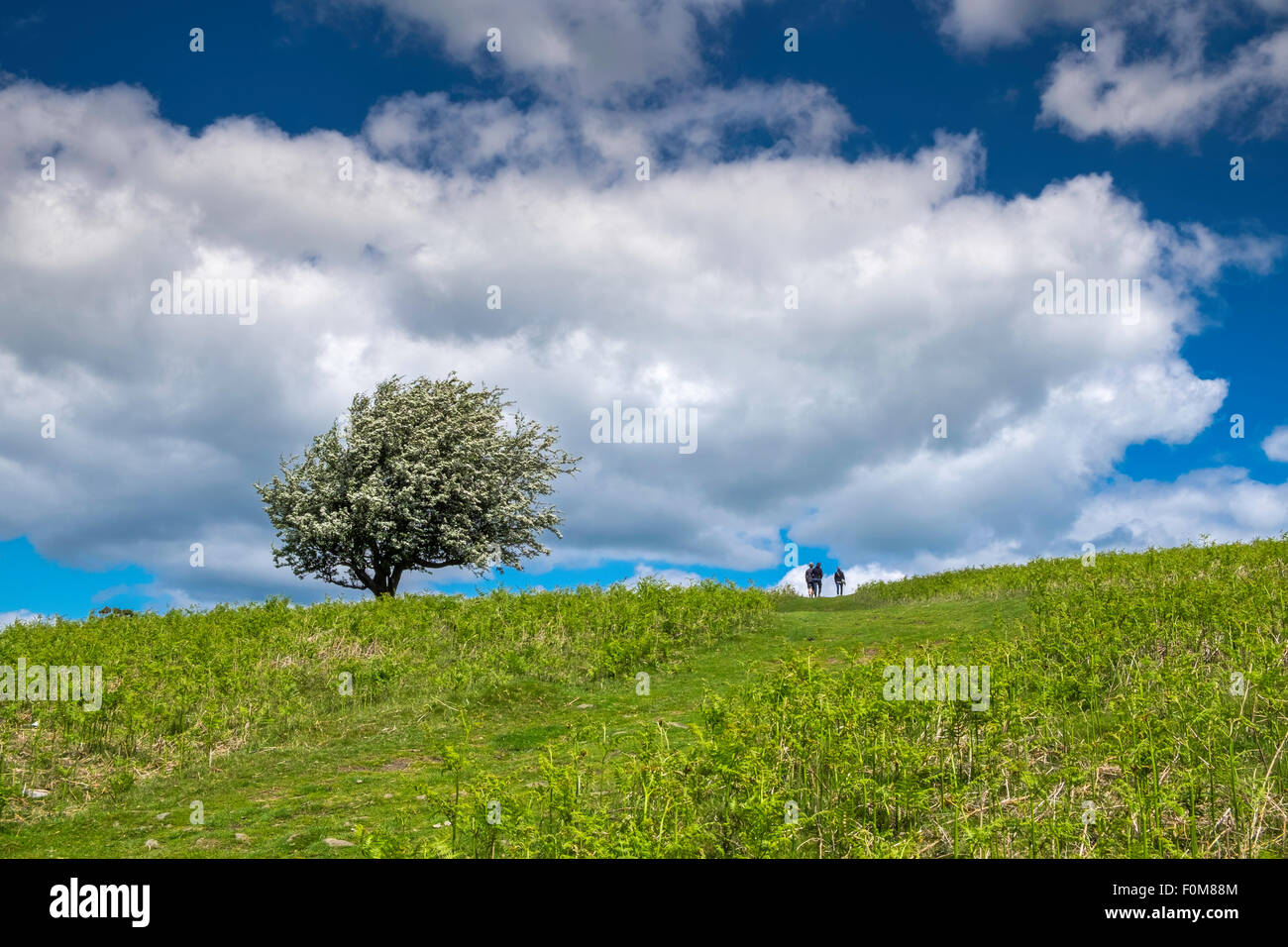 Hawthorn tree and hikers/walkers on Mynydd Llanwenarth  on Sugar Loaf Mountain near Abergavenny Monmouth - Stock Image
