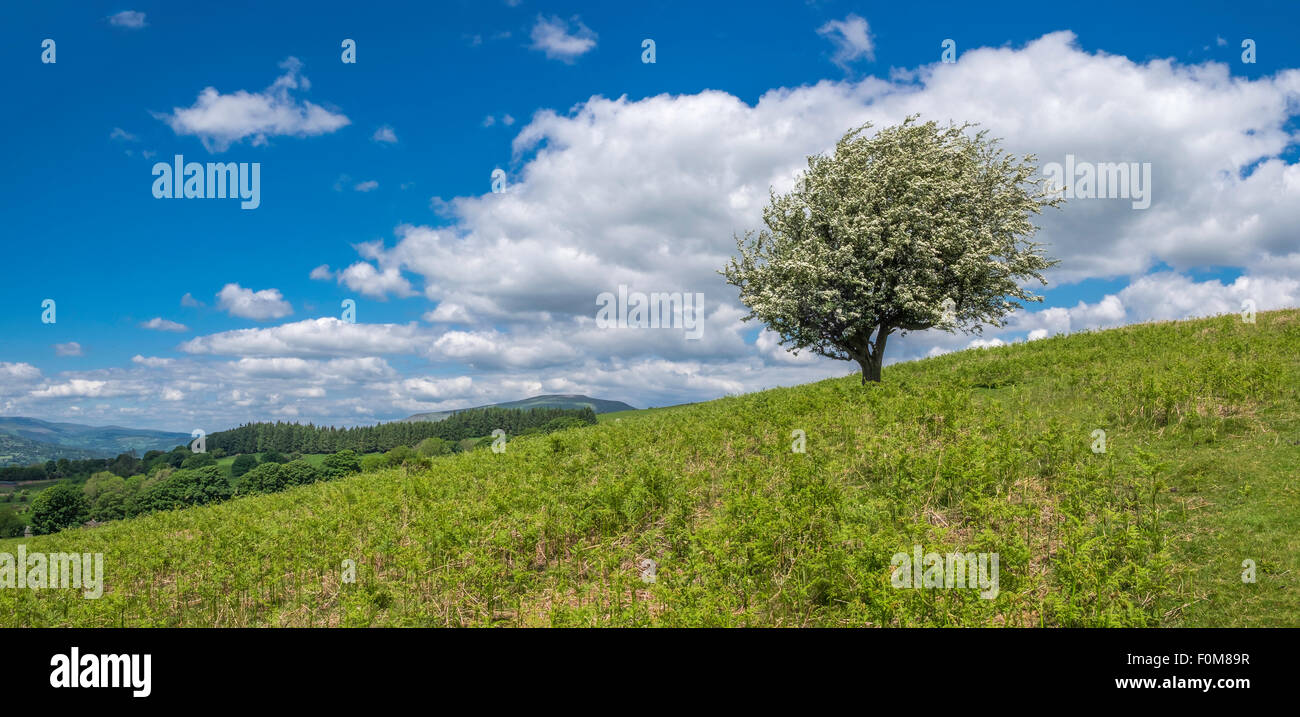 Hawthorn tree on Mynydd Llanwenarth  on Sugar Loaf Mountain near Abergavenny Monmouthshire Wales UK - Stock Image