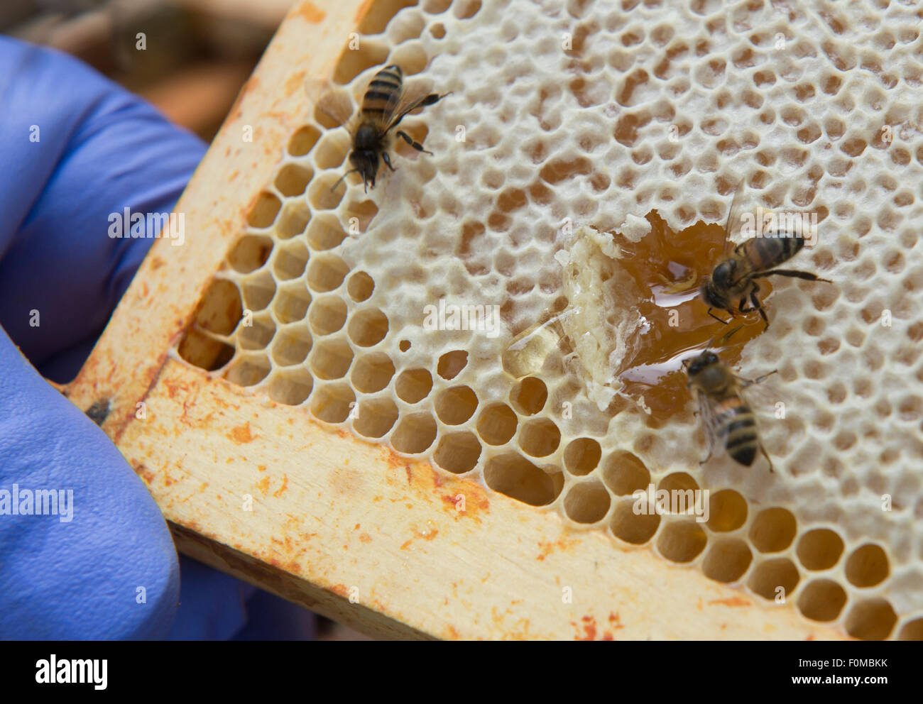 Beekeepers tend to their bees and honeycombs at Abbeydale in Sheffield - Stock Image