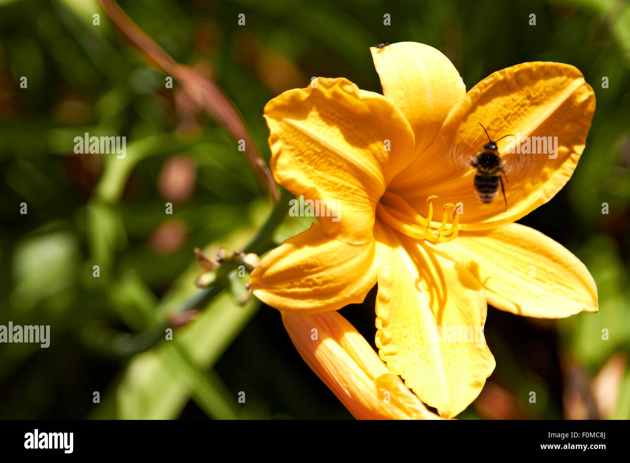 Lily Flower and Humble Bee, Nature, Garden, Outdoors, Park, Plant,Wildlife, Summer - Stock Image