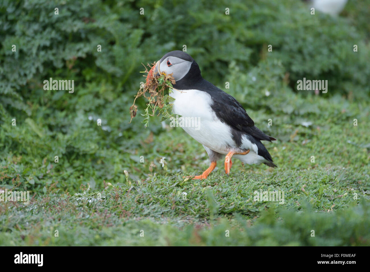 Puffin (Fratercula arctica) collecting vegetation for nesting burrow - Stock Image