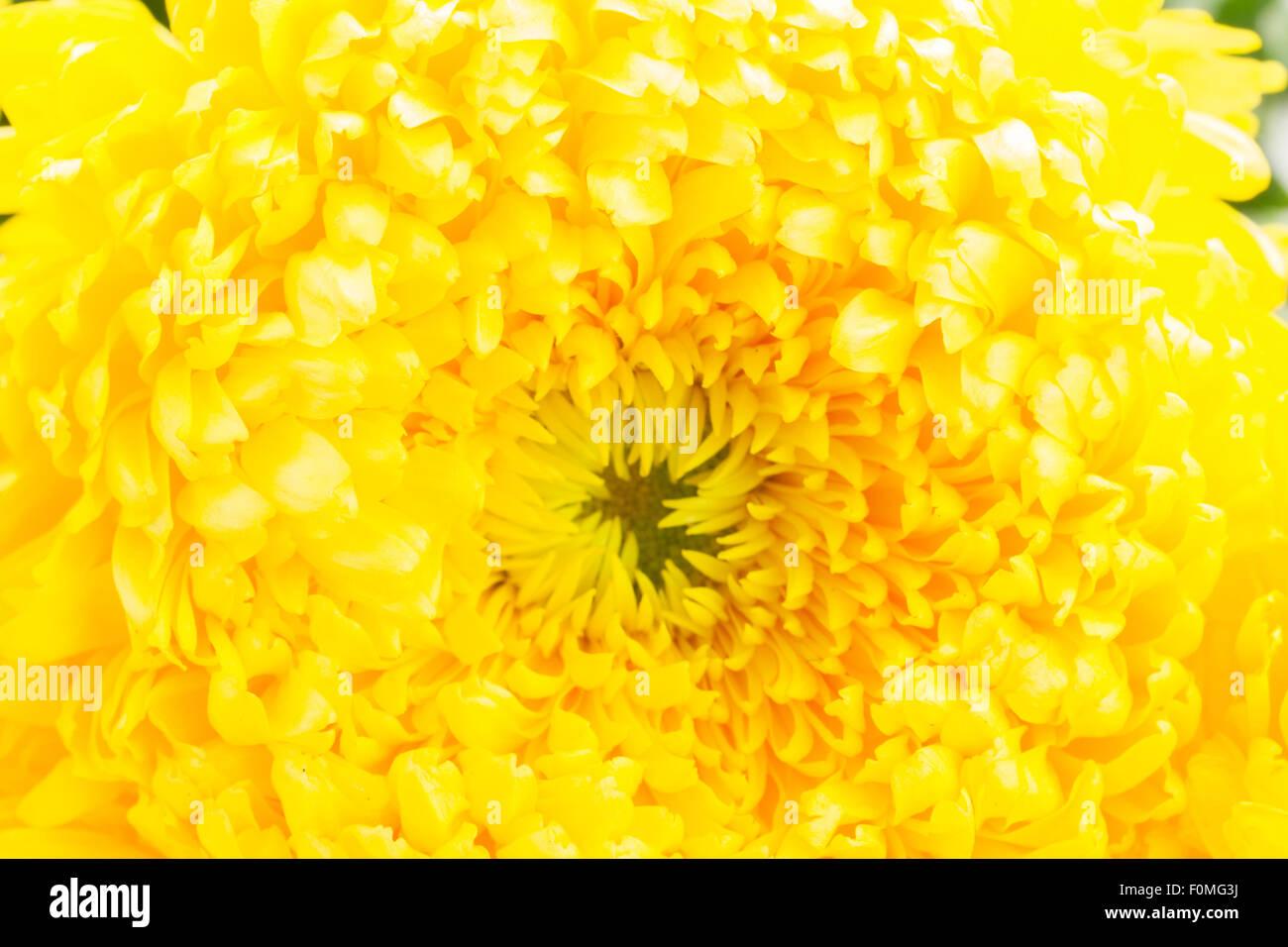 Yellow Mum Flower Stock Photo 86503526 Alamy