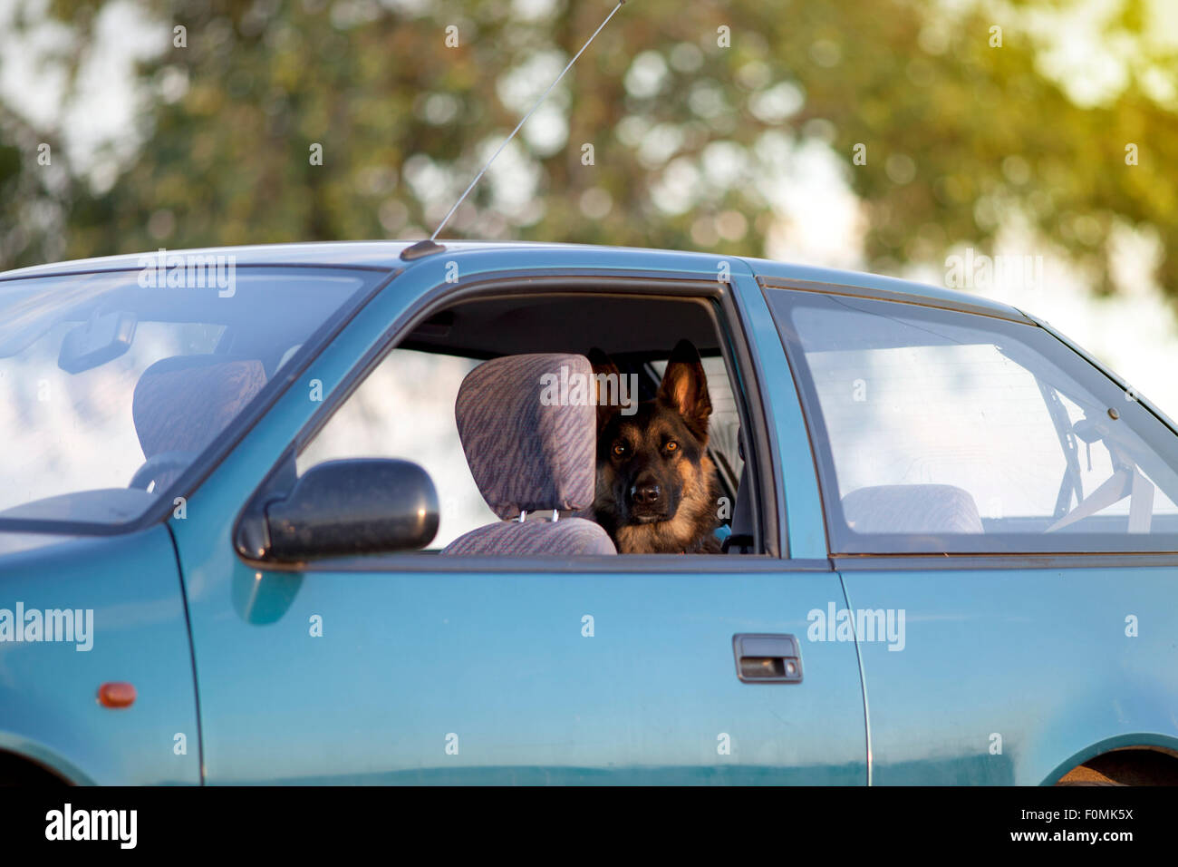 Dog in hot car in summer - Stock Image