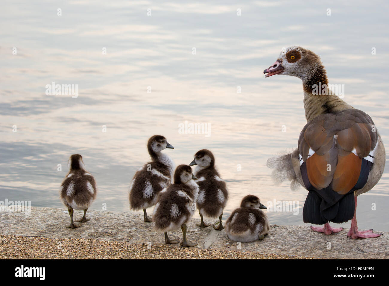 Egyptian Goose with Chicks - Stock Image