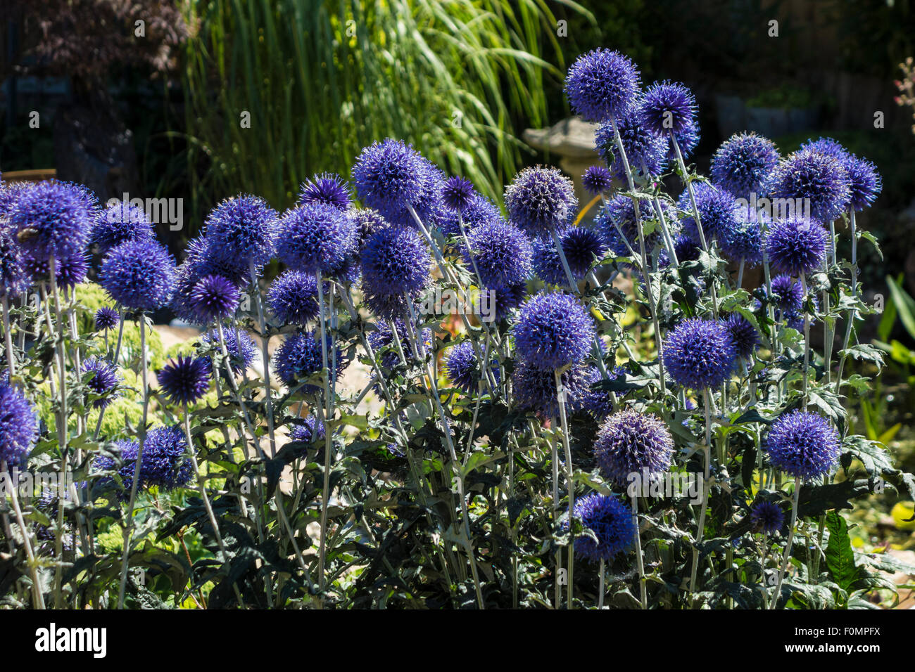 Echinops Veitch's Blue, Globe Thistle. - Stock Image