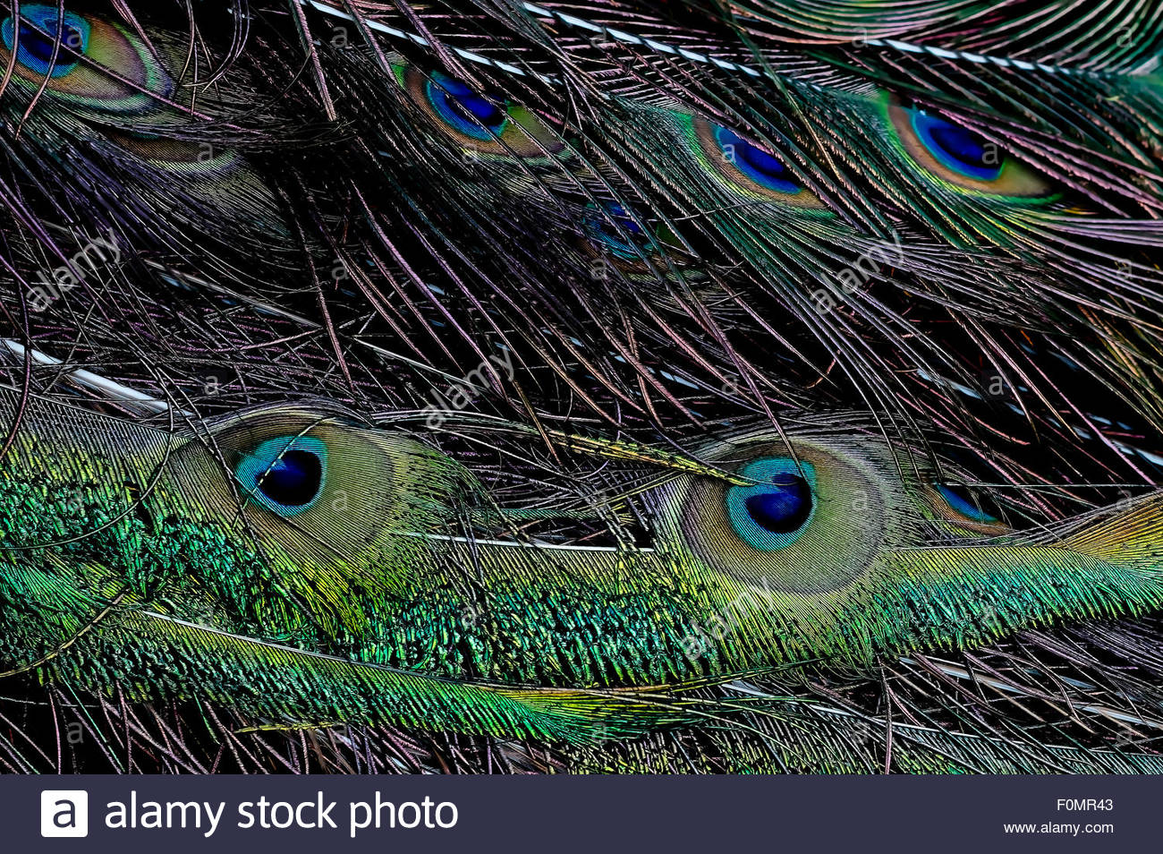 Green peafowl Pavo muticus feather - Stock Image