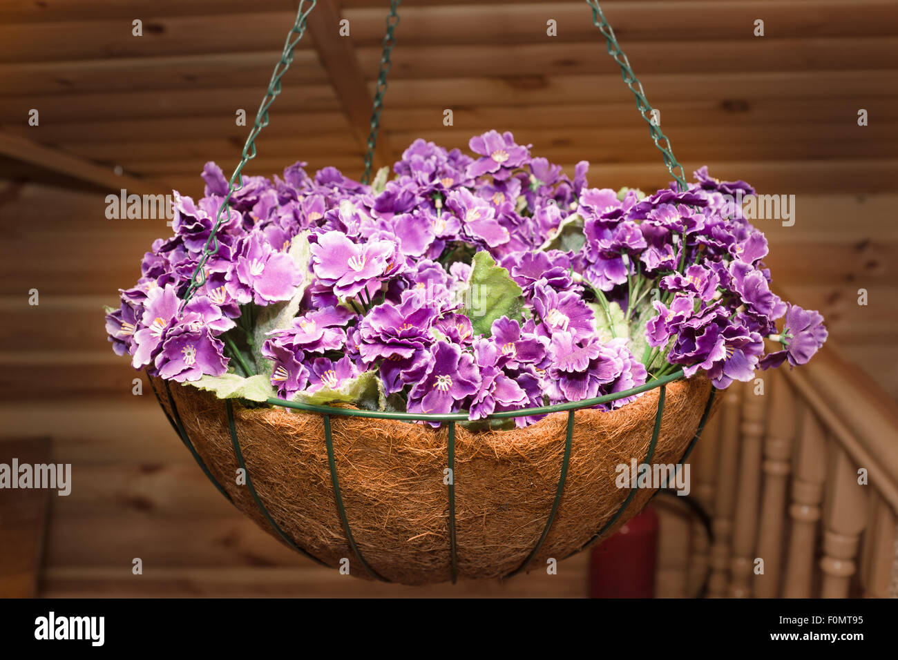 beautiful violet flowers in the cache-pot suspended on chains Stock ...
