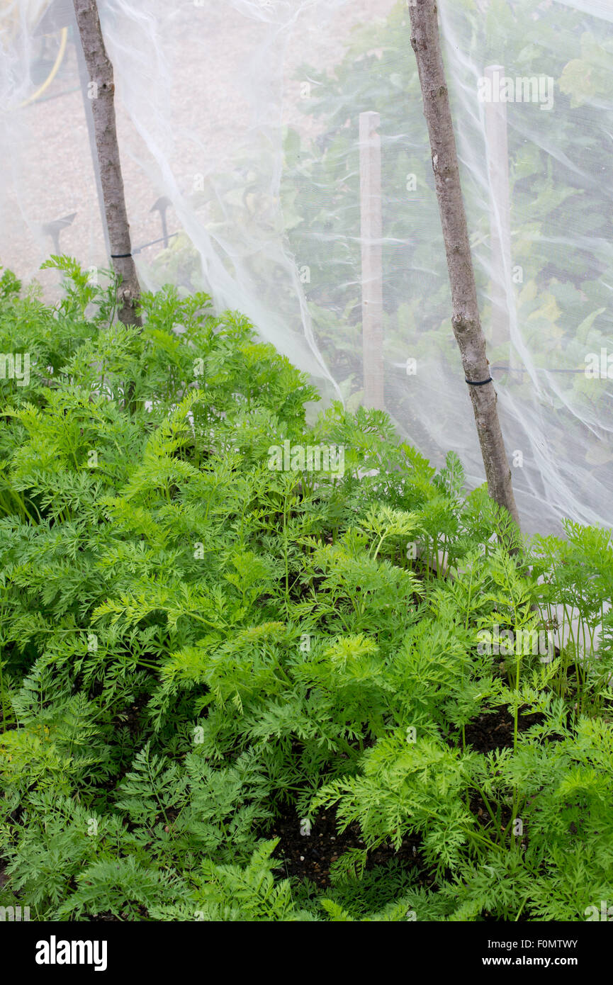 Anti Carrot Fly Screen around a carrot crop in a vegetable garden - Stock Image