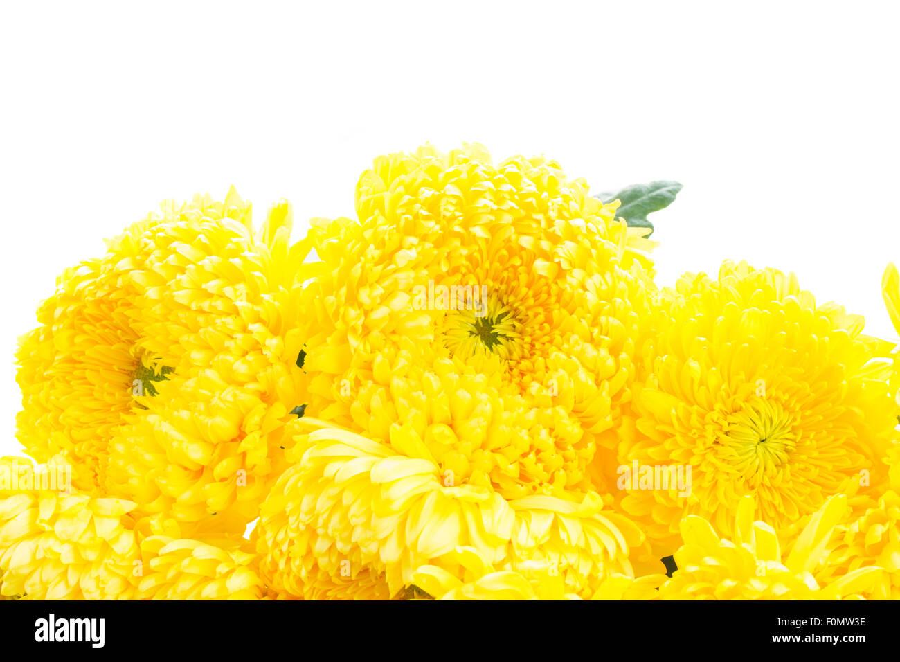 Border Of Yellow Mum Flowers Stock Photo 86510578 Alamy