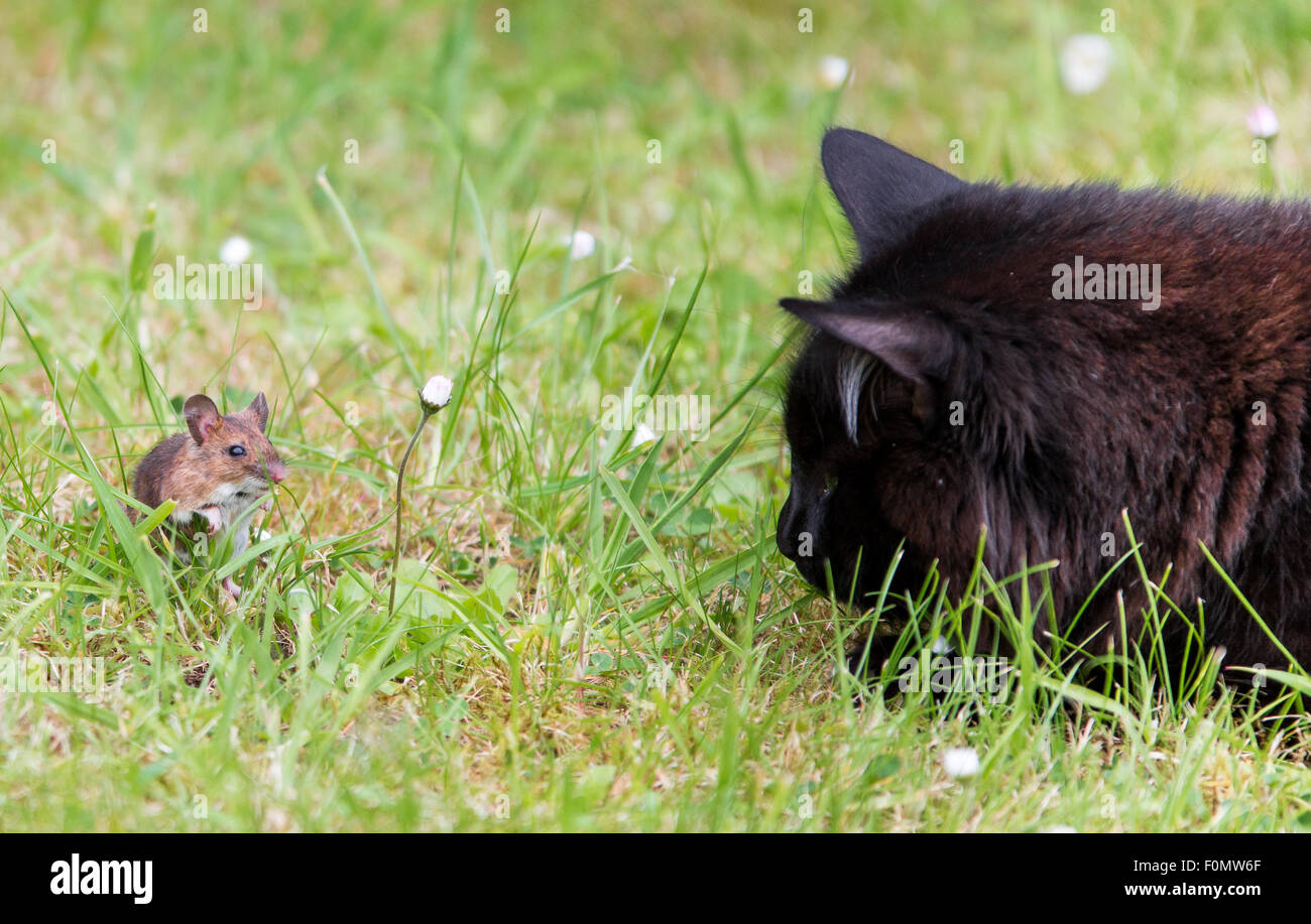 Tom and Jerry.  Cat and mouse can be friends after all.  An unusual friendship where the domestic cat and field - Stock Image