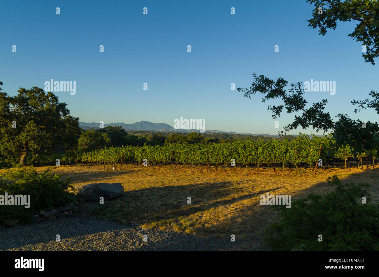 Late evening at a Sonoma vineyard - Stock Image