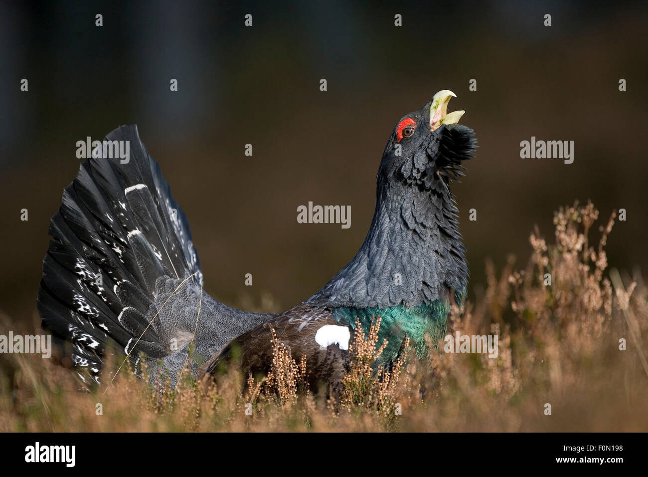 Capercaillie (Tetrao urogallus) male displaying, Cairngorms NP, Scotland, March 2009 - Stock Image