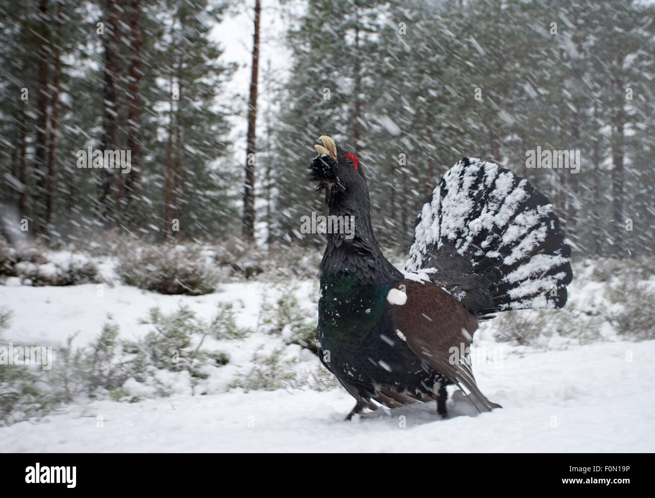 Capercaillie (Tetrao urogallus) male displaying in snow, Cairngorms NP, Scotland, February 2009 - Stock Image