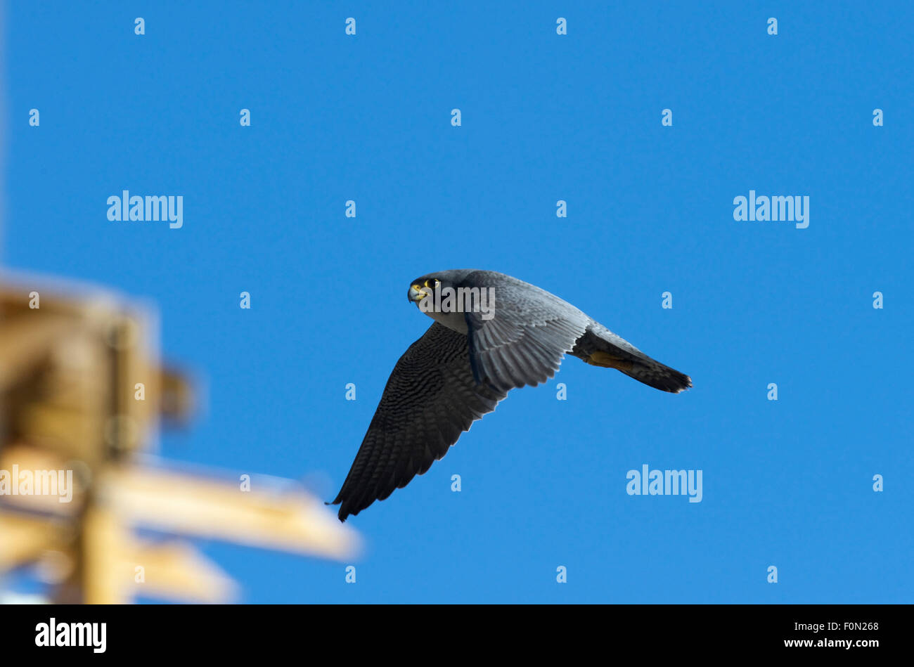 Peregrine falcon (Falco peregrinus) in flight, Barcelona, Spain, May 2009 - Stock Image