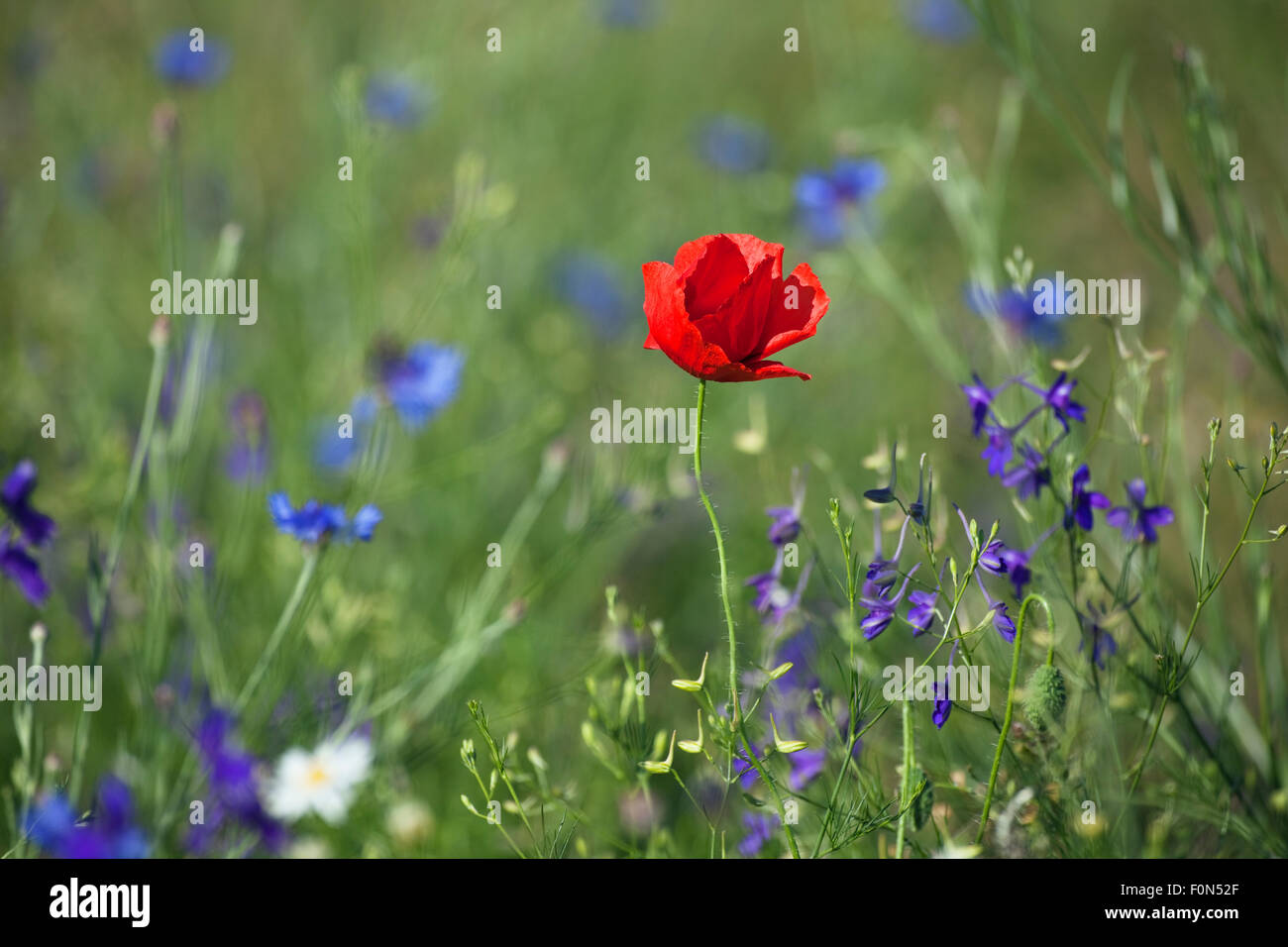 Red poppy (Papaver rhoeas) Brown knapweed (Centaurea jacea) and (Delphinium / Consolida regalis) flowers, Western - Stock Image