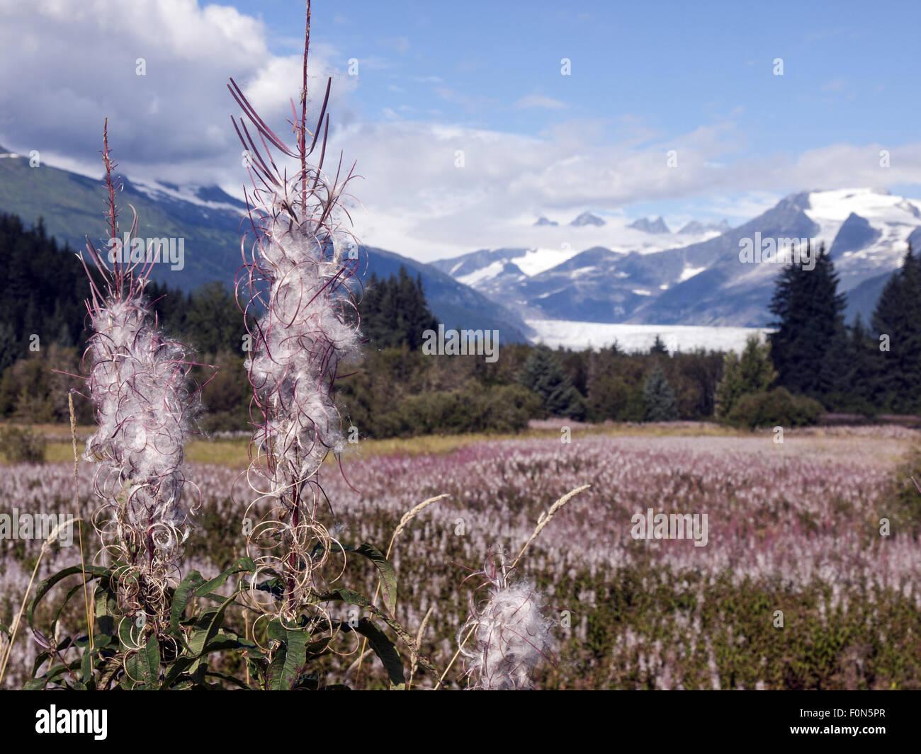 Fireweed Mendenhall Glacier, Juneau Alaska - Stock Image