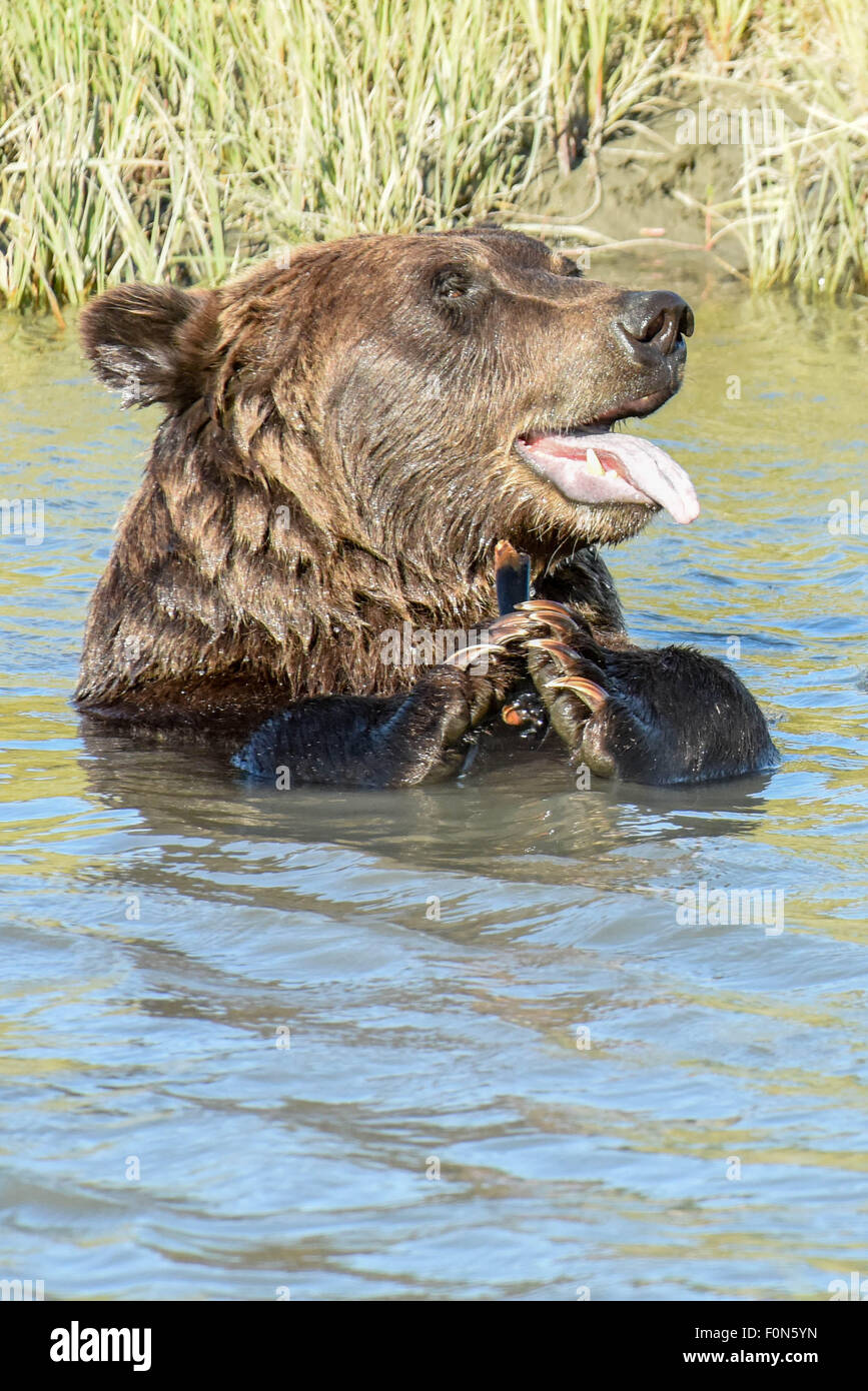 A very cute brown bear / grizzly bear with its tongue hanging out appears to be clapping / applauding in a stream - Stock Image