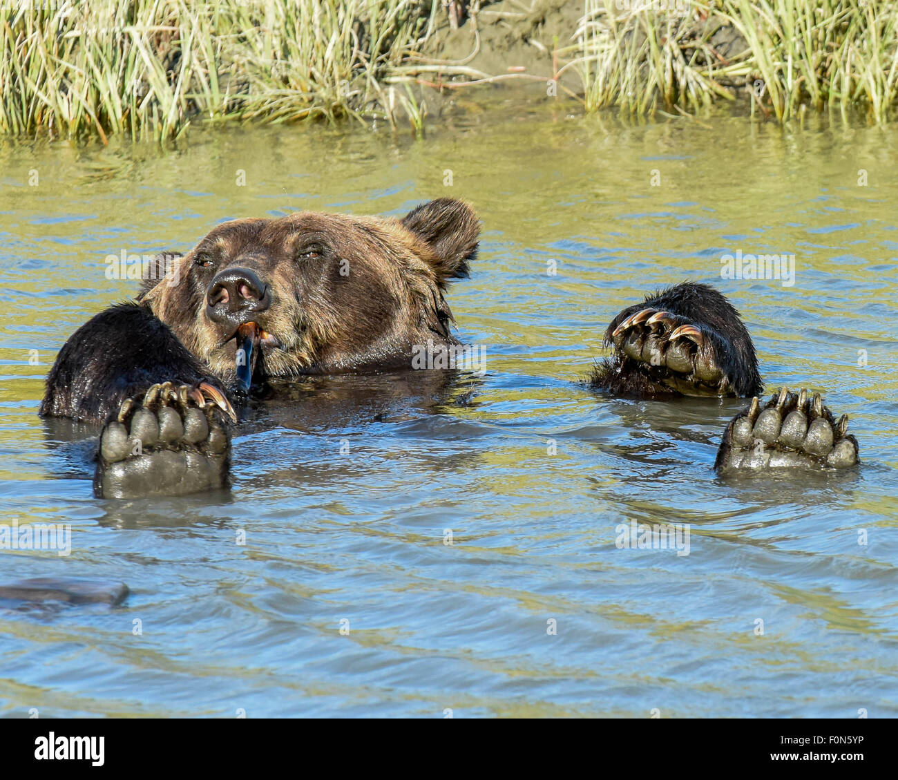 A very cute brown bear / grizzly bear chews on a bone with four paws up - floating in a stream near Anchorage, Alaska - Stock Image