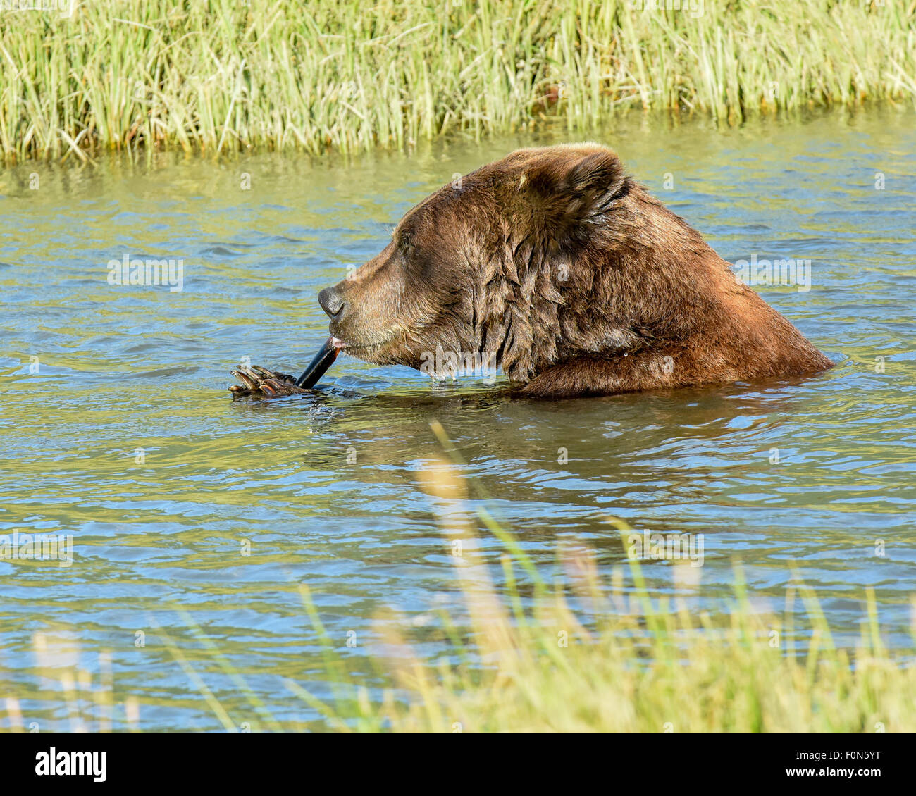 A brown bear / grizzly bear licks / sucks the marrow out of a bone while cooling off in a stream near Anchorage, - Stock Image