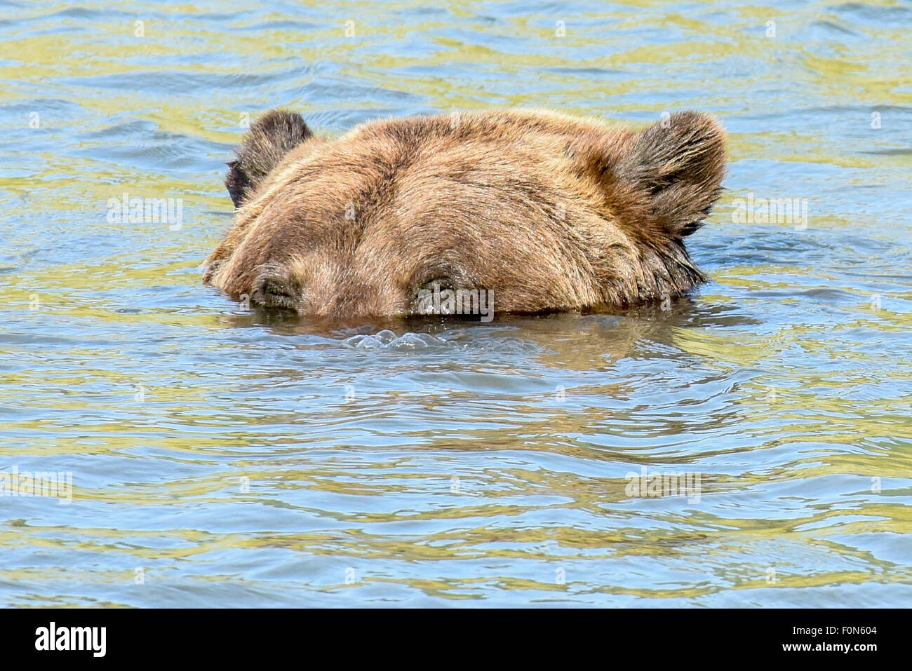 A submerged brown bear / grizzly bear blows bubbles out of his snout in an Alaskan Stream (near Anchorage) - Stock Image