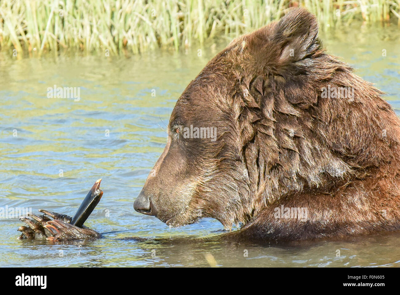 A wet brown bear / grizzly bear examines a bone for marrow while swimming in a stream near Anchorage Alaska - Stock Image