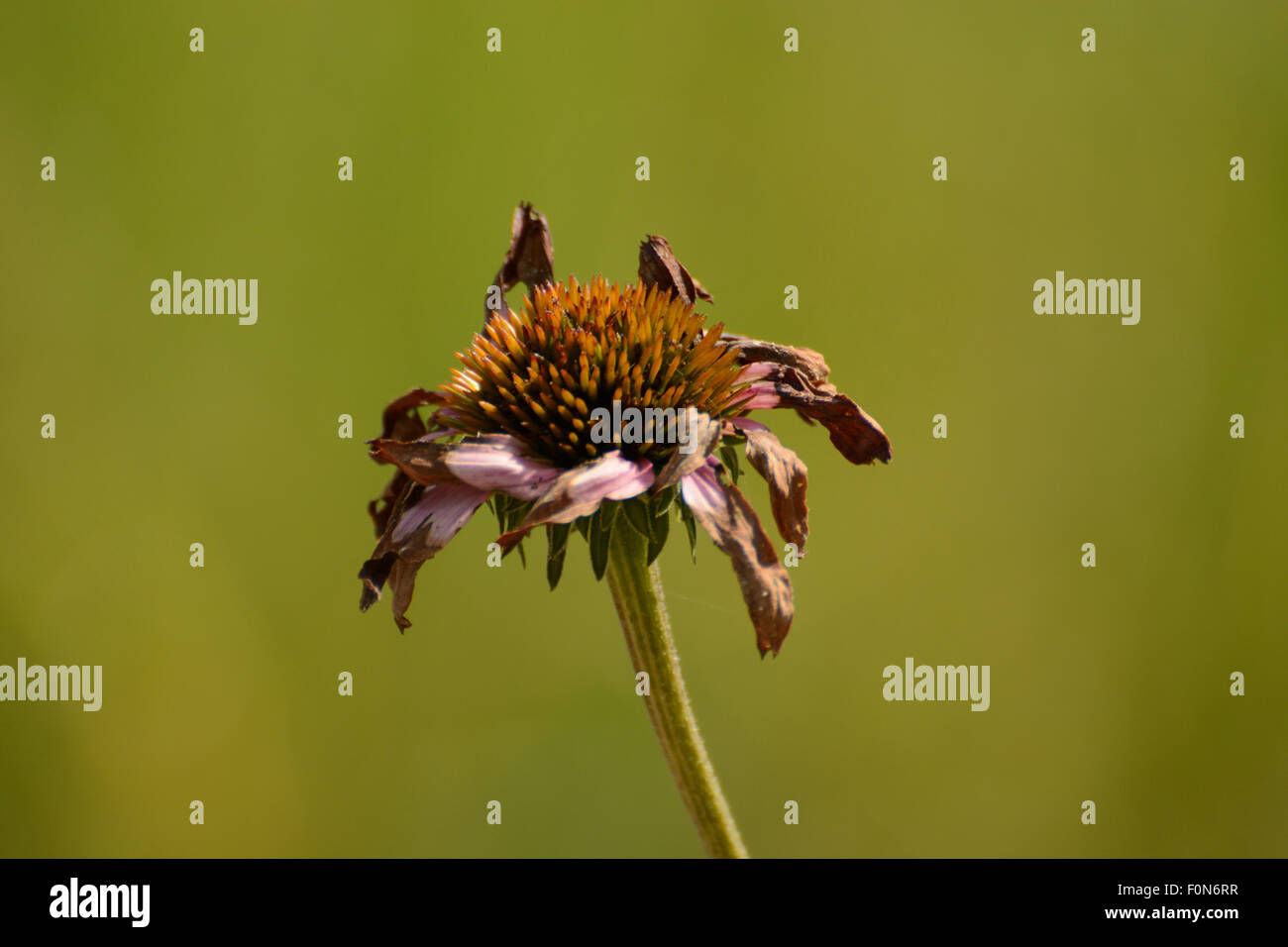 Fading purple coneflower (Echinacea) - Stock Image