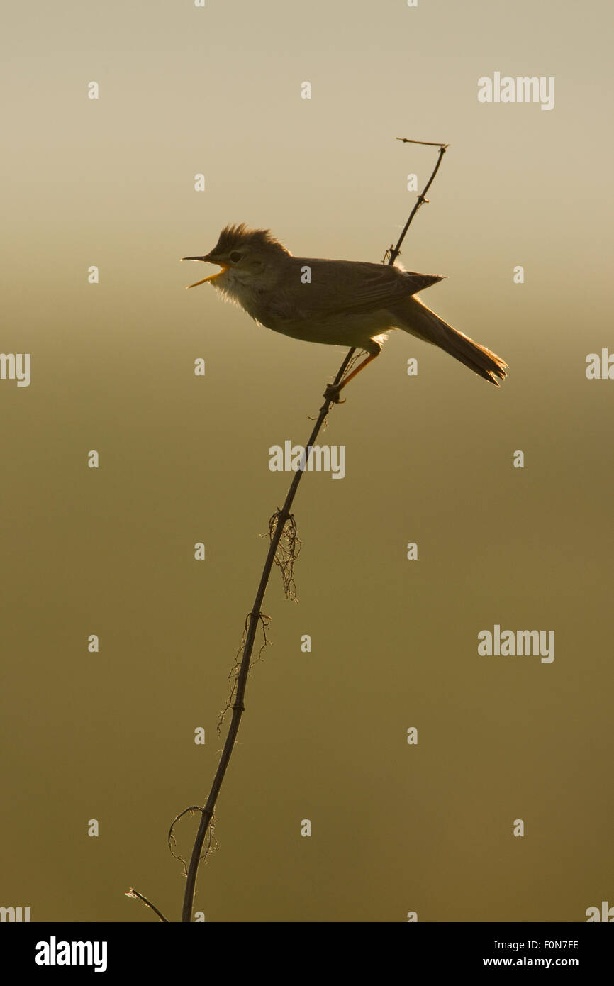 Marsh warbler (Acrocephalus palustris) singing in early morning light, Lithuania. June 2009 - Stock Image