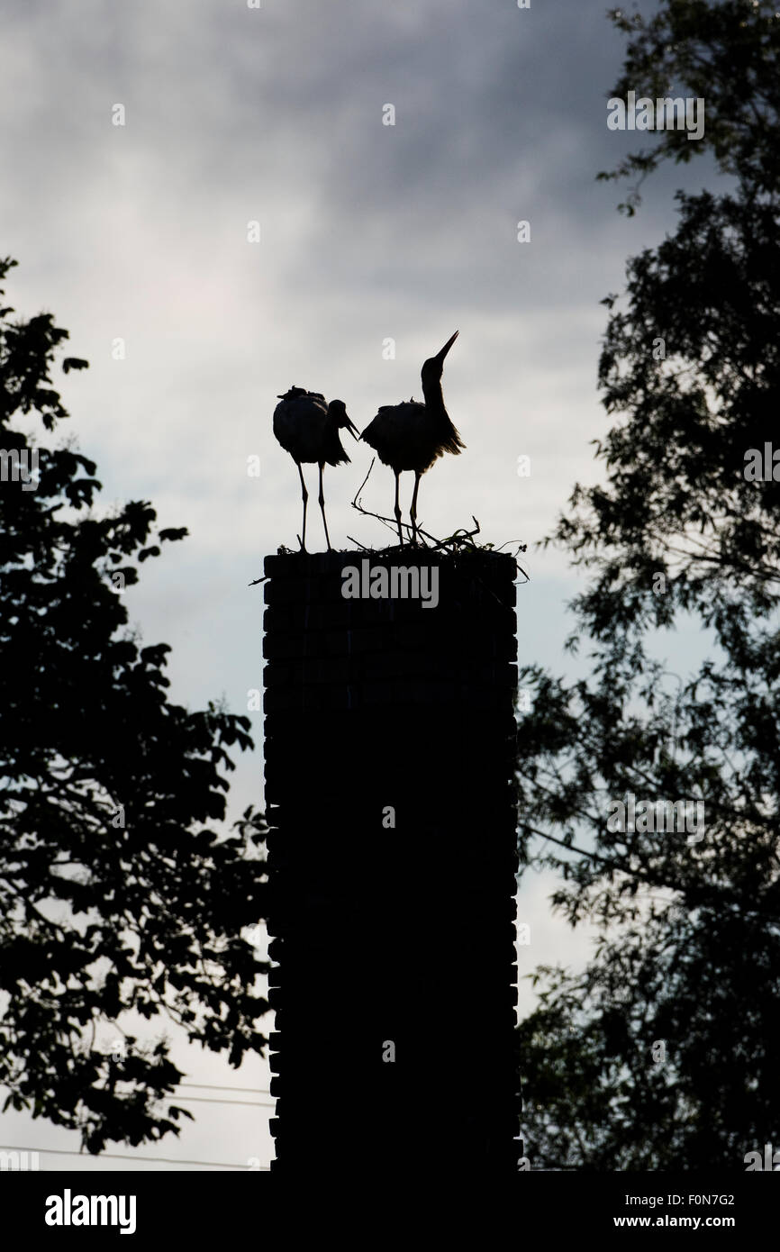 White stork (Ciconia ciconia) pair at nest on old chimney, Rusne, Nemunas Delta Regional Park, Lithuania, June 2009 - Stock Image