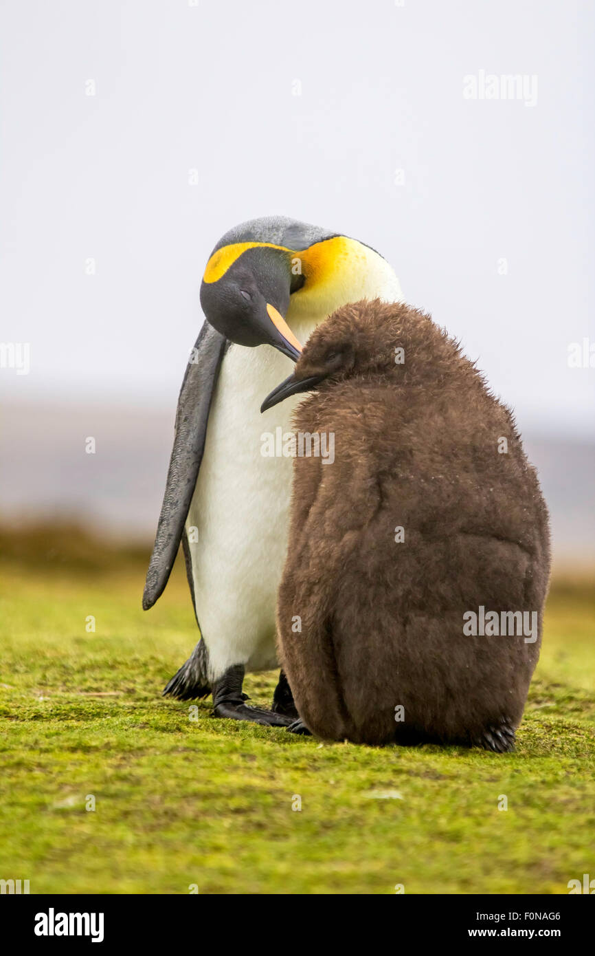 King Penguin (Aptenodytes patagonicus) feeding chick. Volunteer Point, Falkland Islands. - Stock Image