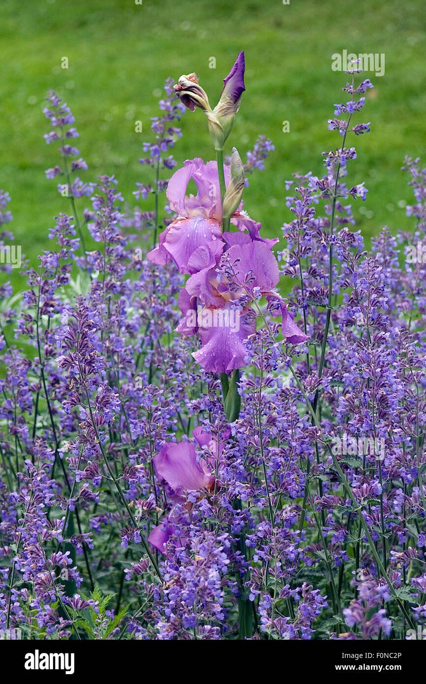 Hohe Bart-Iris, Salbei - Stock Image