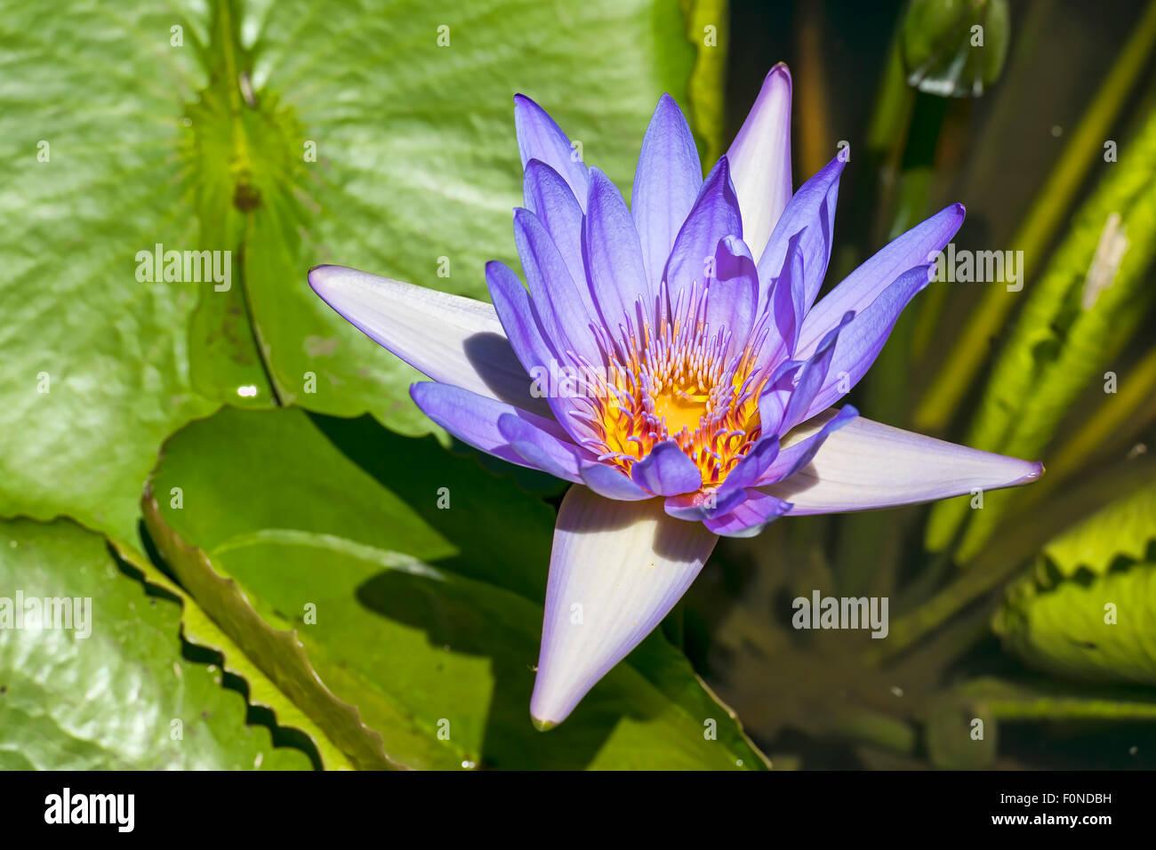 Lotus flower (Nelumbo), Mauritius - Stock Image