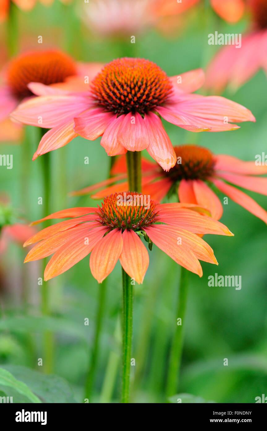 Coneflower (Echinacea sp.), hybrids, variety Hot Summer, North Rhine-Westphalia, Germany - Stock Image