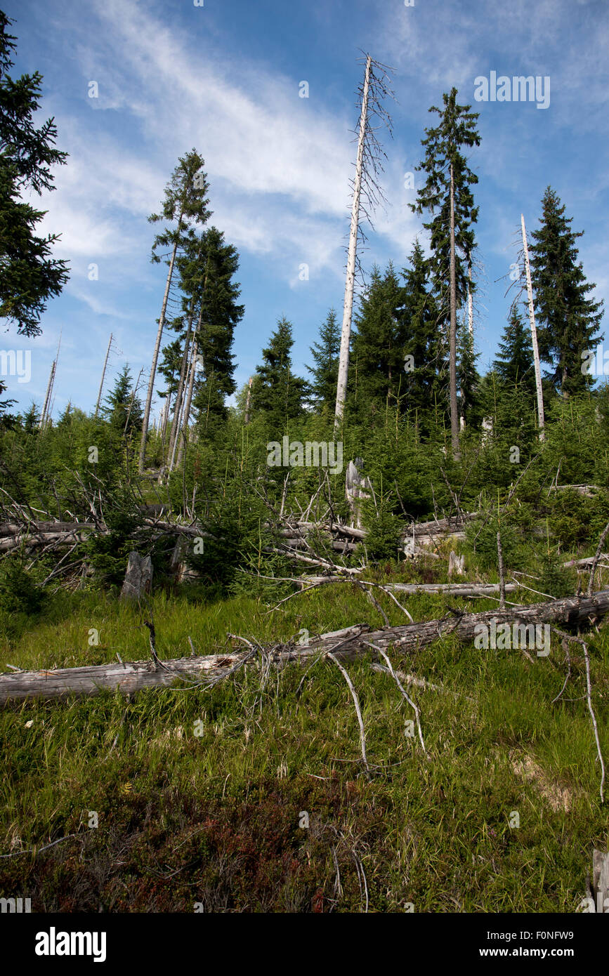In the Bavarian Forest a Bark Beetle infestation destructed most of the Norway Spruce mountain forest which is regrowing - Stock Image